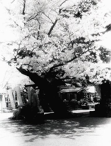 2006sakura01.jpg